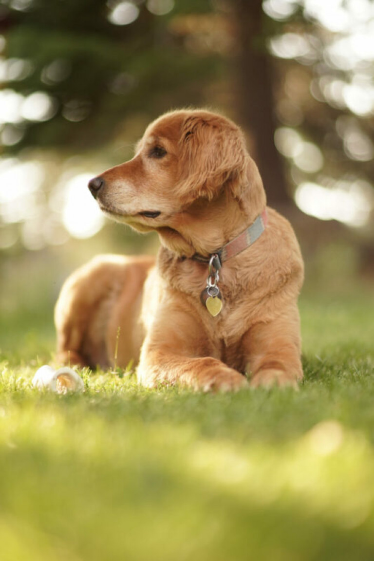 Vertical closeup shot of cute  Golden retriever looking right on sunny day with  blurred background
