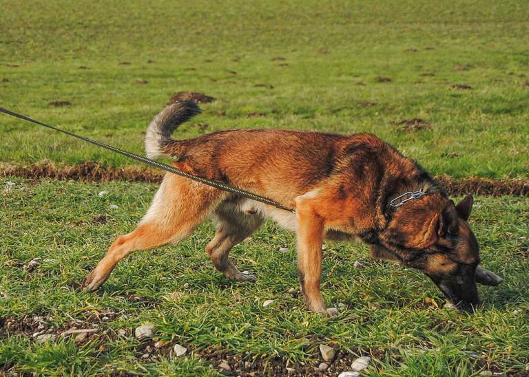 2_Fährtenhund